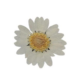 Gedroogde bloemetjes wit geel madeliefjes